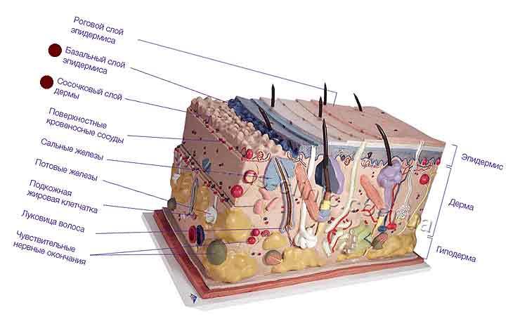 Слои кожи до которых проникает лазер
