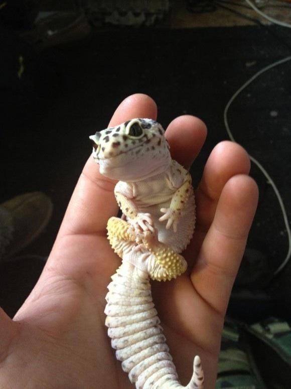 экзотические животные для дома геккон