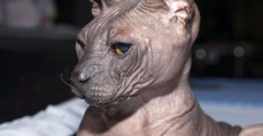 порода донской кот