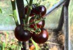 Черные помидоры полезнее своих красных собратьев