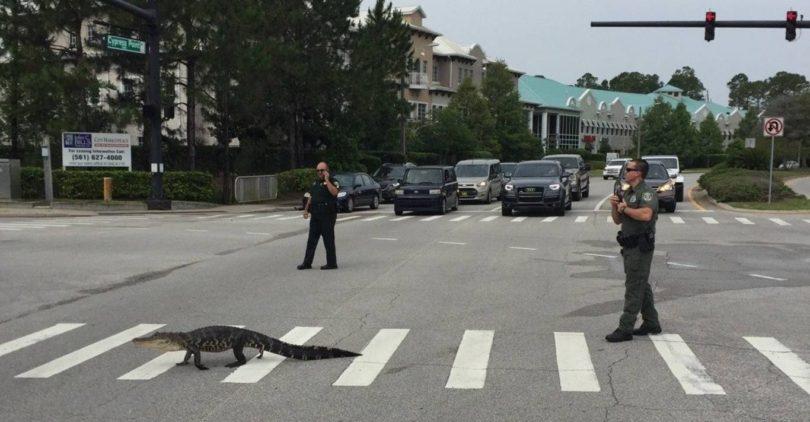 Флорида – аллигатор на пешеходном переходе